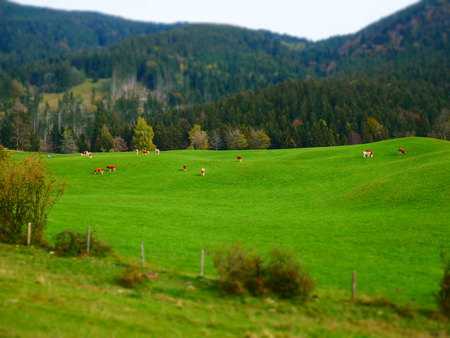 Tilt shift image of autumn landscape with green meadow and cows