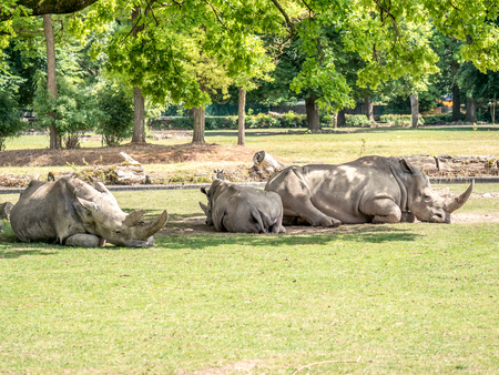 Image of three white rhiniceros in a zoo that lie in the shadow of trees and sleep