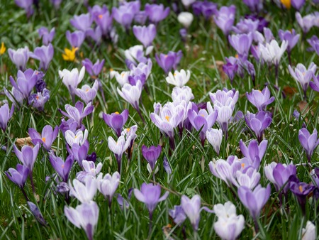 Image of a colorful field of crocuses during spring on a sunny day with blur in the back and foreground. Easter time