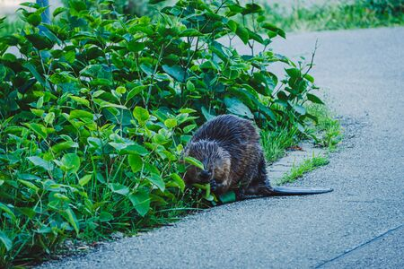 Image of beaver on the side of a read eating the green bush