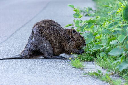 Image of beaver on the side of a street eating the green bush