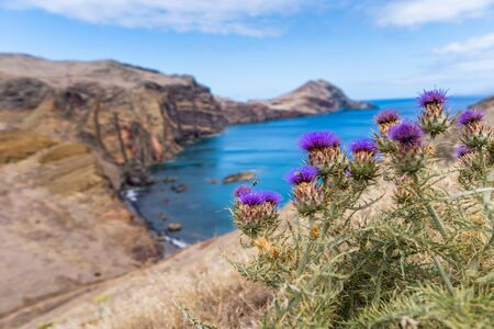 Purple blooming thistle in front of rocky coastline in Madeira, Portugal