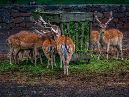 A herd of deers eating gras in a foggy and misty environment, Azores Banque d'images - 129368768
