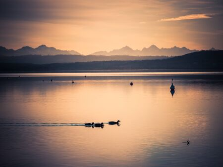 Ducks swimming on lake Ammer during sunset with alps in the background, Bavaria, Germany.