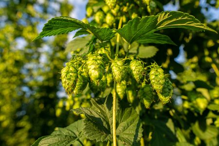 Green hops field. Fully grown hop bines. Hops field in Bavaria Germany. Hops are main ingredients in Beer production. close up.