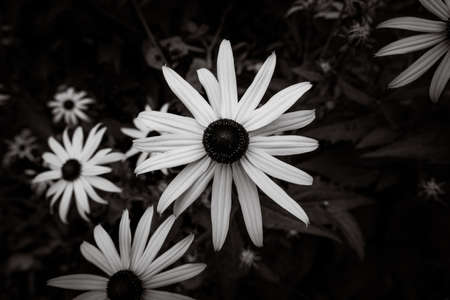 Black and white picture of yellow black-eyed susans, Rudbeckia hirta, flowering in a summer garden Standard-Bild