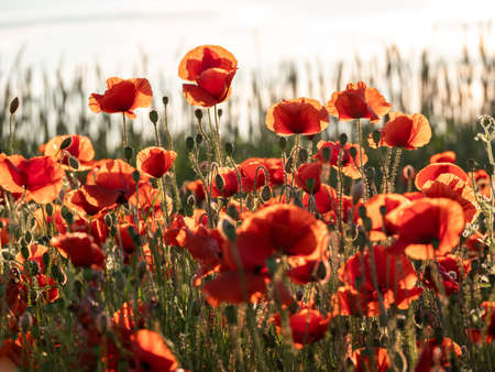 Flowers Red poppies blossom on wild field. Beautiful field red poppies with selective focus. Red poppies in soft light