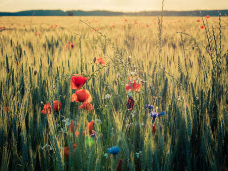 Agricultural grain field with red poppies and other colorful flowers during sunset