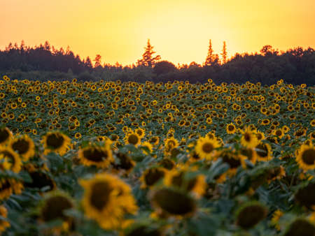 Rural landscape of field of blooming golden sunflowers while sunset.