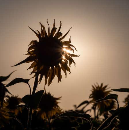 Close up view on yellow sunflower head. Standard-Bild