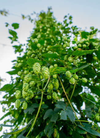 Green fresh hop cones for making beer and bread closeup, agricultural background Standard-Bild