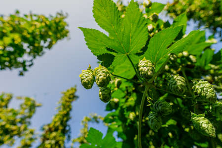 Green fresh hop cones for making beer and bread closeup, agricultural background. Standard-Bild