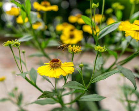 Close up view on a bee on a yellow flower. Standard-Bild