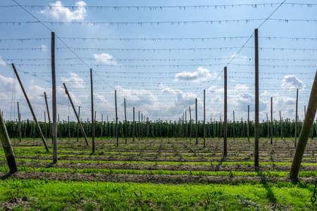 Green hops field. Fully grown hop bines. Hops field in Bavaria Germany. Hops are main ingredients in beer production. Standard-Bild