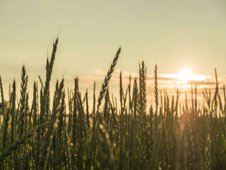 Wheat field. Ears of golden wheat close up. Rural Scenery during Shining sunset. close-up