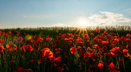 Close up in poppy field and sun. Remembrance day Standard-Bild