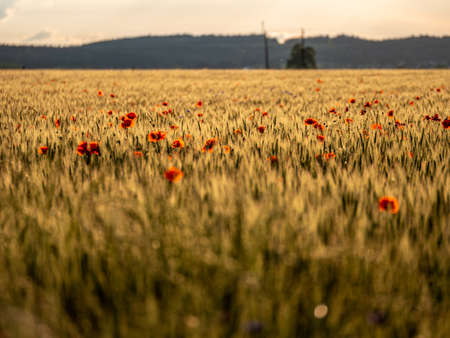Agricultural grain field with red poppies during sunset.