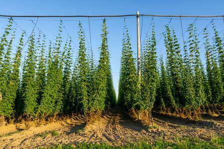 Green hops field. Fully grown hop bines. Hops field in Bavaria Germany. Hops are main ingredients in Beer production.