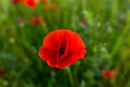 Top down close up view on red poppy flower. Remembrance day Standard-Bild