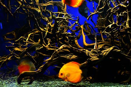 diskus: Orange with white diskus fish swims deep near the algae and branches. Horizontal photo, blue background Stock Photo