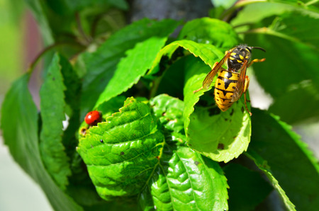 Wasp on a background of raspberry leaves. Horizontal color photo