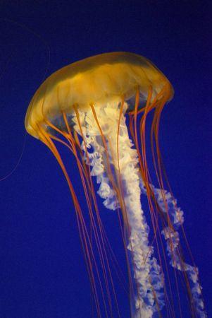 mortale: una medusa sospesa in un serbatoio di acquario blu