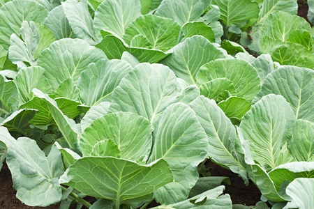 Fresh green cabbage in the vegetable garden photo