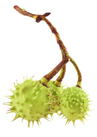 trees with thorns: fresh green chestnuts on a white background