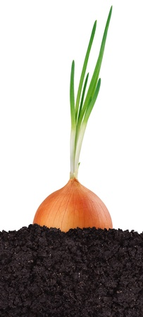 Green onion in the ground isolated on white background photo
