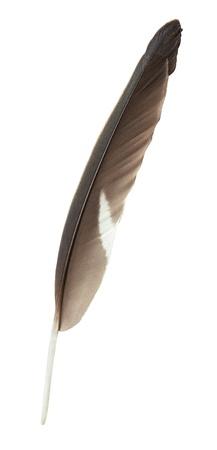 piuma bianca: Singola piuma scuro isolato su sfondo bianco Archivio Fotografico