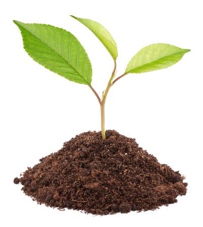 arbol de cerezo: Joven planta verde en el suelo sobre fondo blanco