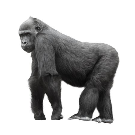 gorilla: Silverback gorila de pie en un puesto de observaci�n aislada en el fondo blanco