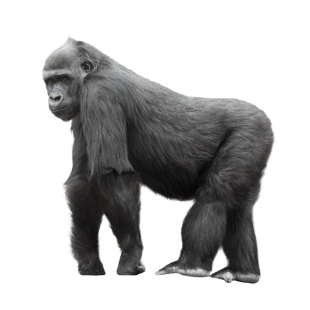 Silverback gorilla standing on a lookout isolated on white background photo