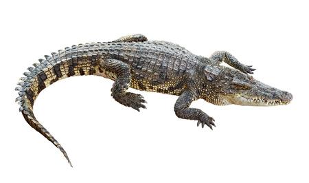 cocodrilo: Cocodrilo vida silvestre aislada sobre fondo blanco