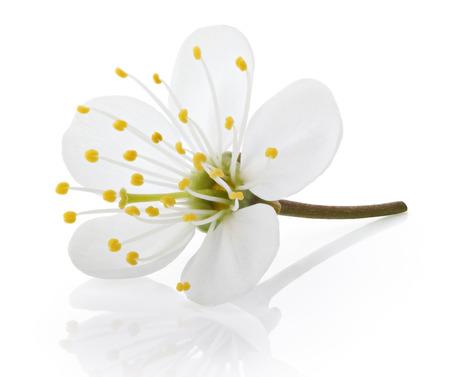 クリッピング パスと白色の背景上に分離されて単一の桜の花