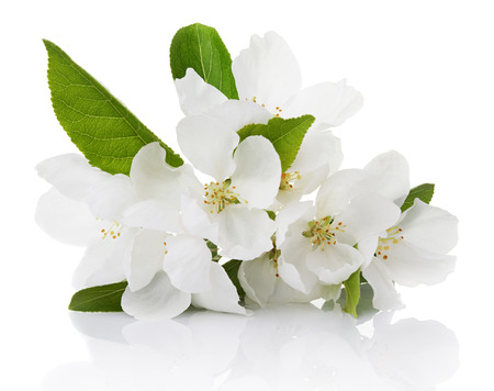 Spring blossoms - Apple tree flowers isolated on white photo