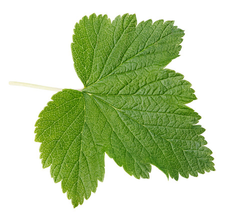 Currant leaf isolated on white with clipping path photo