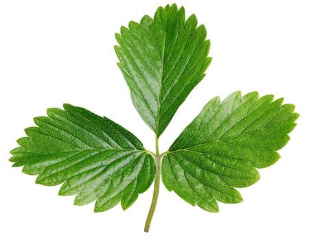 Single green strawberry leaf isolated on white background