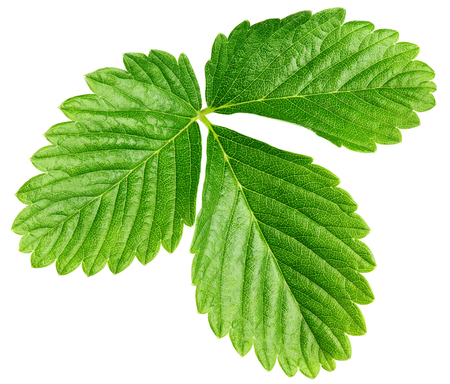 Single green strawberry leaf isolated on white 스톡 콘텐츠