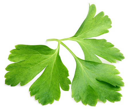 petroselinum sativum: Garden parsley herb (coriander) leaf isolated on white background with clipping path