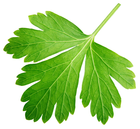 Single parsley herb (coriander) leaf isolated on white background with clipping path