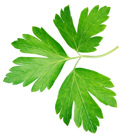 petroselinum sativum: Garden parsley herb (cilantro) leaf isolated on white background with clipping path