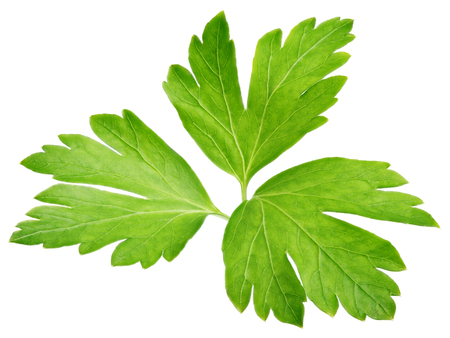 Garden parsley herb (cilantro) leaf isolated on white background
