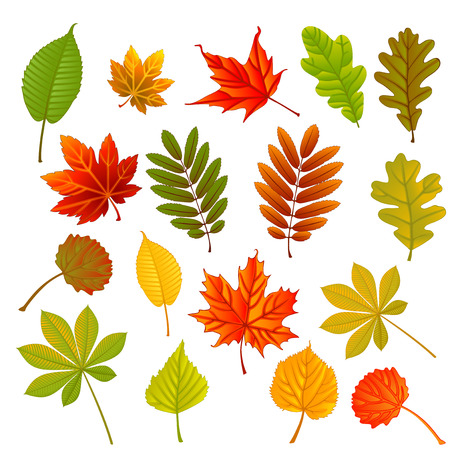 chokeberry: collection beautiful colorful autumn leaves isolated on white background