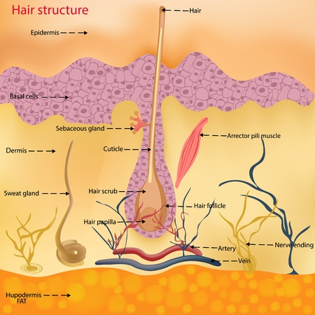 The anatomical structure of the hair on the head of a person under a microscope close-up. Vector illustration. Hair under the skin Ilustração Vetorial