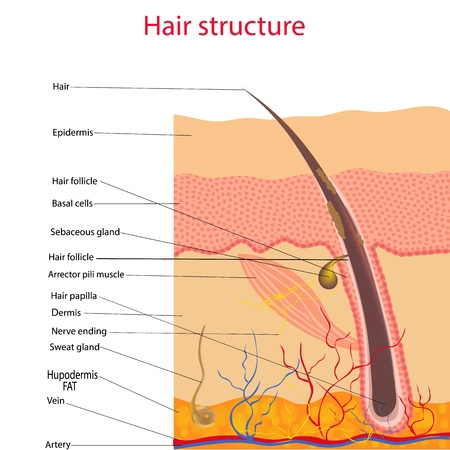 The anatomical structure of the hair on the head of a person under a microscope close-up. Vector illustration