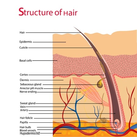 Structure and cycles of hair growth on a human head under a microscope close-up. Vector illustration. Hair under the skin. Illustration