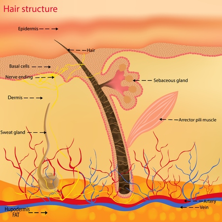 The anatomical structure of the hair on the head of a person under a microscope close-up. Vector illustration. Hair under the skin Standard-Bild - 125240338