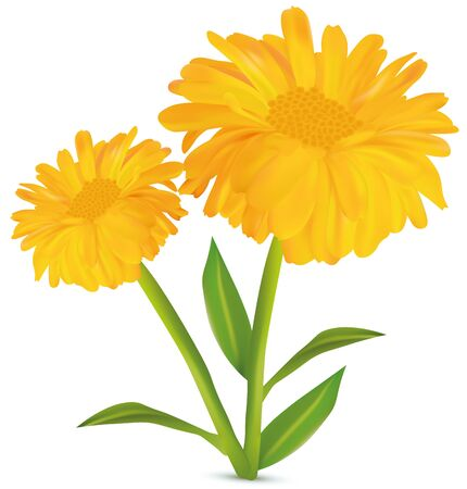 3d realistic calendula with green leaf on white background. Marigold flowers. Vector illustrator. Calendula close up. 矢量图像