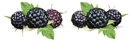 Fresh blackberry isolated on white background. Collection ripe black raspberry with green leaft. Summer berry close up. Vector illustration. 스톡 콘텐츠